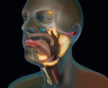 Encuentran dos nuevas glándulas salivares enterradas en el cráneo