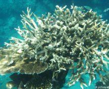 La Gran Barrera de Coral ha perdido la mitad de sus corales desde 1995