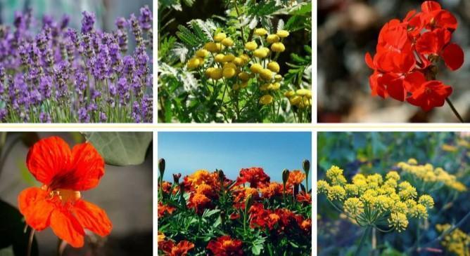 Plantas para el control ecológico de plagas