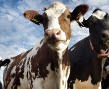 Venezuela no tiene capacidad para exportar ganado